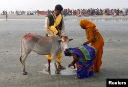 گائے کی پوجا کی جا رہی ہے۔