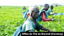 Bamwe mu Barimyi b'Icayi mu Burundi