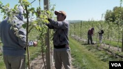 Farm workers prune apple trees in Pennsylvania's Adams County. (M. Kornely/VOA)