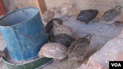 Quail birds domesticated by some Zimbabweans are generating a lot of income for some local people. (Photo: Arthur Chigoriwa)