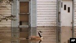 Một con ngỗng bơi qua căn nhà bị ngập lụt ở phía nam Winnipeg, Canada.