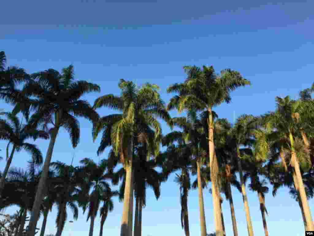 درختان نخل در ریو.