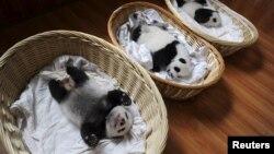 2015年8月21日中国四川雅安大熊猫繁育中心篮子里的熊猫幼仔