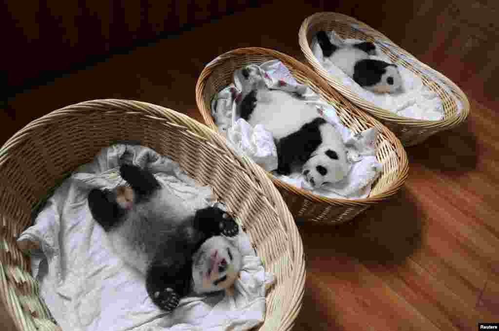 Giant panda cubs are seen inside baskets during their debut appearance to visitors at a breeding center in Ya'an, Sichuan province, China. A total of 10 cubs that were born in the center this year, aging from one week to two months, met visitors for the first time.