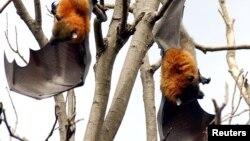 آسٹریلیا کی دو کم یاب چمگادڑیں 'فلائنگ فاکس' درخت سے لٹکی ہوئی ہیں۔
