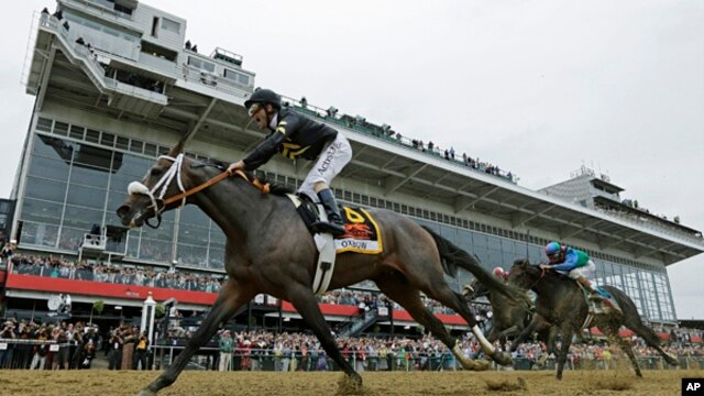 Oxbow, ridden by jockey Gary Stevens, wins the 138th Preakness Stakes horse race at Pimlico Race Course, May 18, 2013, in Baltimore.