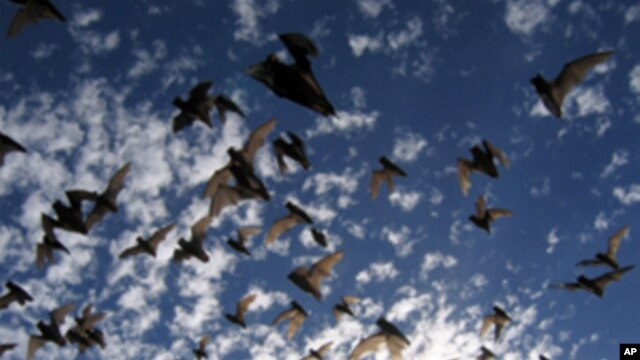 Brazilian free-tailed bats in flight as they emerge from a cave in Texas.