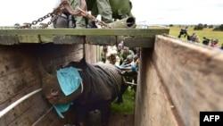 Les membres de l'équipe de translocation du Kenya Wildlife Services (KWS) aident à charger un rhinocéros mâle noir dans une caisse de transport dans le parc national de Nairobi, le 26 juin 2018.