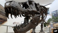 FILE - A model of a Tyrannosaurus rex is on display in the New Mexico Museum of Natural History and Science in Albuquerque, N.M.