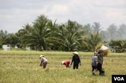 ພວກຊາວນາພາກັນກ່ຽວເຂົ້າໄປກອງໄວ້ ທີ່ເມືອງ Tien Giang ປະເທດ Vietnam.
