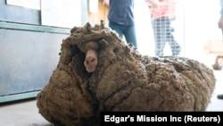 Sheep Baarack is seen before his wool was shorn in Lancefield, Victoria, Australia, February 5, 2021.(Edgar's Mission Inc/Handout via REUTERS)