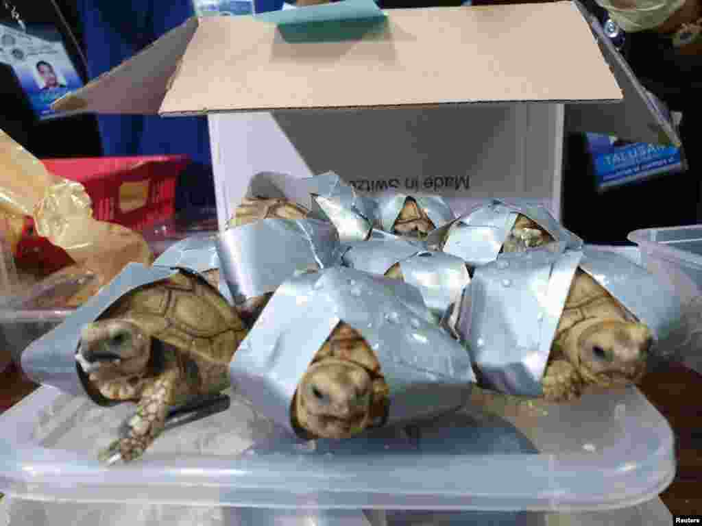 Tortoises are seen covered in a duct tape after being seized by Philippines Customs in Manila, March 3, 2019, in this picture obtained from social media.