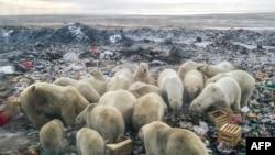 Des ours polaires se nourrissent dans une décharge près du village de Belushya Guba, dans l'archipel russe éloigné du nord de Novaya Zemlya, le 31 octobre 2018. (Alexander GRIR / AFP)