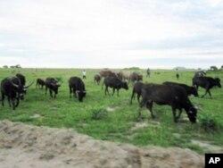 Pasto na aldeia da Etunda