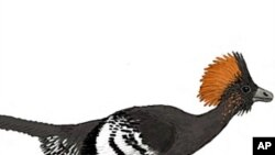 Reconstruction of the plumage color of the Jurassic troodontid Anchiornis huxleyi. [Image courtesy of Michael A. Digiorgio]