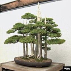 Skupina bonsai stabala koje je zasadio John Naka
