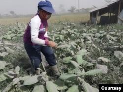 Seorang petani sedang memilah tanaman pertaniannya yang terdampak abu vulkanis dari erupsi Gunung Sinabung di Kabupaten Karo, Sumatera Utara, Rabu 3 Maret 2021. (Courtesy: Dinas Pertanian Karo)