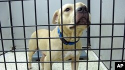 FILE - A dog seized during a dog fighting bust sits in a pen at a kennel in Jacksonville, Florida, Aug. 26, 2014.