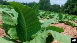 The Zimbabwe tobacco floors open early next month.