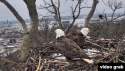 Bald eagles Justice (left) and Liberty are seen together for the first time in almost three weeks.