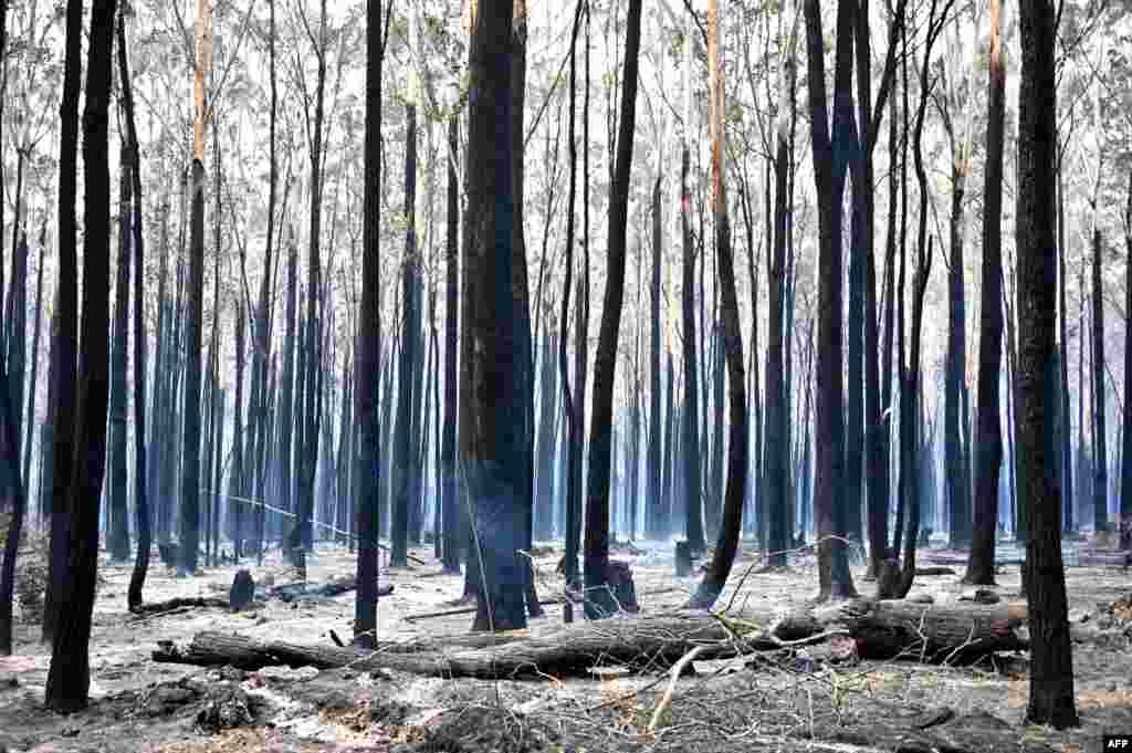 Pohon-pohon yang hangus terbakar terlihat setelah kebakaran hutan di Old Bar, 350 kilometer di utara kota Sydney, Australia.