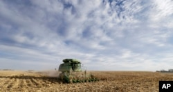 FILE - A farmer combines corn in Dallas Center, Iowa, Nov. 10, 2014. The farm-to-table movement has been gaining momentum in the culinary world, catering to a growing appetite for responsibly sourced meals.
