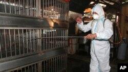 Seorang petugas menyemprotkan disinfektan di pasar unggas di Banchiao, Taipei (29/4). (AP/Chiang Ying-ying)