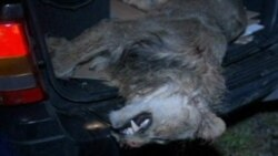 Amerika'da Firari Hayvanların Çoğu Öldürüldü