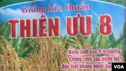 Thiên Ưu 8 được VINASEED quảng cáo là giống lúa thuần, chống chịu sâu bệnh tốt, đặc biệt là kháng bệnh đạo ôn. Ảnh: Lê Anh Hùng.