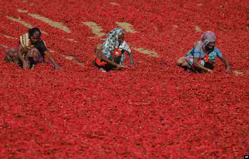 Indian women sort red chili peppers to dry at Shertha village in the western Indian state of Gujarat.