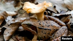 In this file photo, a wood frog rests beside a chanterelle mushroom in the forest at Medvednica mountain overlooking Zagreb June 6, 2011. (REUTERS/Nikola Solic/File Photo)