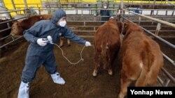 8일 충북 괴산군 괴산읍 신기리 농가에서 사육중인 소들에게 수의사가 구제역 예방접종을 하고 있다.