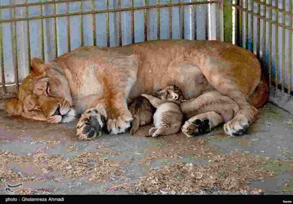 تولد سه توله شیر آفریقایی در باغ وحش بابلسر عکس: غلامرضا احمدی