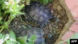 Theo các nghiên cứu thì rùa tai đỏ là giống sinh vật ngoại lai có hại, và chúng ăn tạp, từ rong rêu, sên ốc cho đến cây cỏ