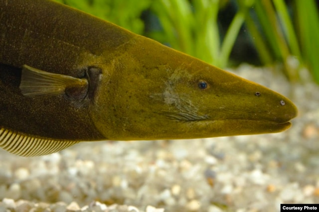 This mean-looking adult electric male brown ghost knifefish hunts at night in the murky dark fresh waters of South American rivers. (Guy l'Heureux)