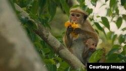Maya and her newborn Kip in Disneynature's Monkey Kingdom. (©Disneynature 2015)