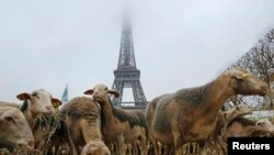 Sheep are gathered in front of the Eiffel tower in Paris during a demonstration of shepherds against the protection of wolves in France November 27, 2014. French shepherds, with around 250 sheep, staged a protest in central Paris against the French govern