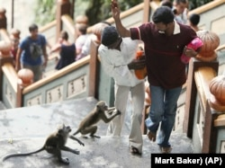 Visitors to Batu Caves try to avoid two long tailed-macaque monkey as they climb the steps at Batu Caves in Malaysia, 13 kilometers (8 miles) north of Kuala Lumpur, Malaysia, Wednesday, Aug. 18, 2010. (AP Photo/Mark Baker)