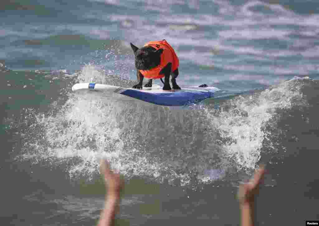 Na crista da onda! Concurso anual de surf para cães, 6ª edição, Huntington Beach, California Set. 28, 2014