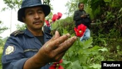 FILE - A policeman shows opium poppies during a police operation aimed at eradicating drug production in Tajumulco, Guatemala, Aug. 31, 2006.