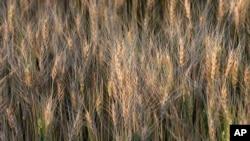 Ilmuwan menciptakan biji-bijian yang lebih cerdas yang mengandung lebih banyak zat gizi untuk menanggulangi kelaparan di tingkat dunia. HarvestPlus, sebuah lembaga nirlaba yang berpusat di Washington, telah melakukan fortifikasi terhadap biji-bijian dengan zat-zat gizi yang vital sejak tahun 2003 (foto: AP Photo/Orlin Wagner)