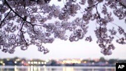 Cherry Blossoms at the Tidal Basin, March 21, 2012. (Photo: Olivia Kitunen)