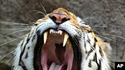 Proposed Tourism Ban Renews Tiger Welfare Debate in India