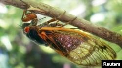 Serangga Cicada muncul setiap 17 tahun sekali (foto: ilustrasi).