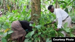 São Tomé e Príncipe Sum Pontes and San Verónica healers collect the V. africana plant for their patients. In assays, the plant showed to be potent in reducing inflammation, oxidative stress and amyloid-beta peptides (typically associated with Alzheimer's
