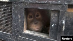 FILE - A young Sumatran orangutan looks out from a travel cage as it arrives at the Sumatran Orangutan Conservation Program quarantine at Batu Mbelin, North Sumatra, Indonesia. The orangutan was recovered after wildlife traffickers were caught smuggling it out of the region.
