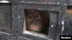 Seekor anak Orangutan mengintip dari balik kandangnya untuk menjalani program konservasi di Batu Mbelin, dekat Medan, Sumatra Utara (foto: dok).