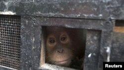 一只年幼的苏门答腊猩猩从运送箱里向外张望,它是在被动物走私贩子企图非法运出苏门答腊地区时被解救的。(资料照片)