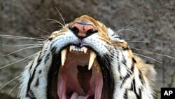 An Indian Royal Bengal Tiger yawns as he rests in the water-pond inside an enclosure at the Nehru Zoological Park in Hyderabad, May 11, 2011 (file photo).