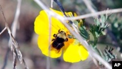 Lebah liar bumblebee melakukan penyerbukan pada bunga poppy California. (AP/Jeff Barnard)